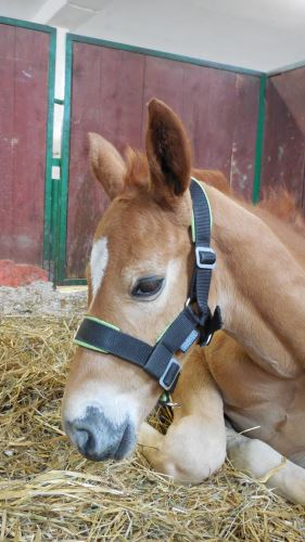 STABLE halter for FOAL